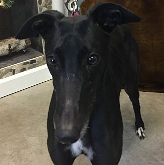 Greyhound Dog for adoption in Swanzey, New Hampshire - Angie