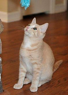 Domestic Mediumhair Kitten for adoption in Savannah, Georgia - Sammy