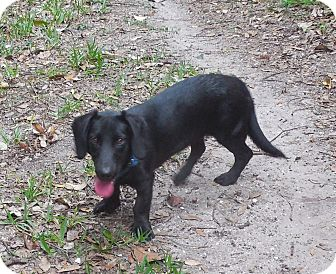 Dachshund/Labrador Retriever Mix Puppy for adoption in Ormond Beach, Florida - Ms. Bella