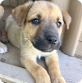 Shepherd (Unknown Type)/Labrador Retriever Mix Puppy for adoption in Harrisburg, Pennsylvania - Jules