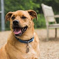Adopt A Pet :: Hank - Lowell, MA
