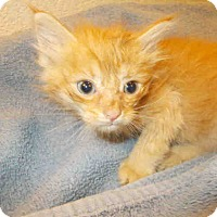 Adopt A Pet :: Kittens-Available Soon - Arlington, VA