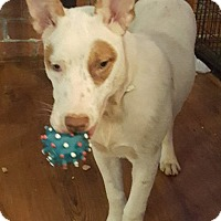 Adopt A Pet :: Babette - Savannah, GA