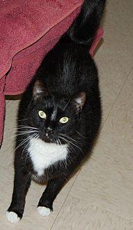 Domestic Shorthair Cat for adoption in Brainardsville, New York - Stripes