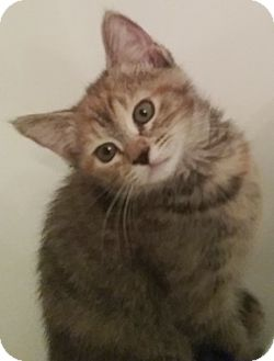 Domestic Shorthair Kitten for adoption in North Highlands, California - Cinnabon
