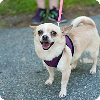 Adopt A Pet :: Little Bit - Hopkinton, MA