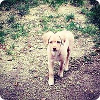 Adopt A Pet :: Cooper - Rosemead, CA