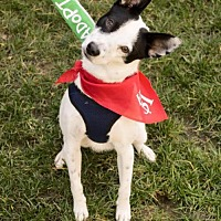 Rat Terrier Mix Dog for adoption in Sacramento, California - Jack