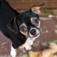 Adopt A Pet :: Olaf - Dalton, GA