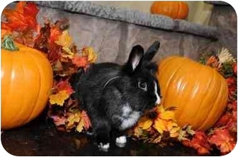 Lionhead Mix for adoption in Kingston, Tennessee - Jett