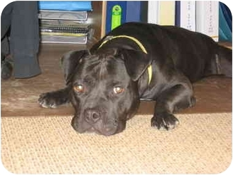 Staffordshire Bull Terrier Mix Dog for adoption in Reisterstown, Maryland - Rudy
