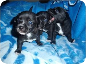 Chihuahua/Dachshund Mix Puppy for adoption in Kingwood, Texas - Chiweenie Babes