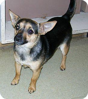 Chihuahua Mix Dog for adoption in Murphysboro, Illinois - Shasta