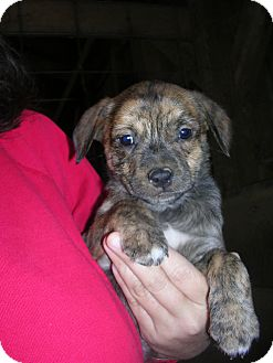 Shepherd (Unknown Type) Mix Puppy for adoption in Bedminster, New Jersey - Rigby
