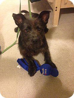 Scottie, Scottish Terrier/Cairn Terrier Mix Dog for adoption in Bowie, Maryland - Sir Scottie
