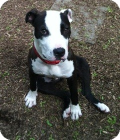 Pit Bull Terrier/Great Dane Mix Dog for adoption in Ardsley, New York - Tommy