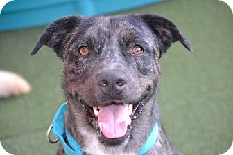 Labrador Retriever/Catahoula Leopard Dog Mix Dog for adoption in Los Angeles, California - Tommy - Great with other dogs!