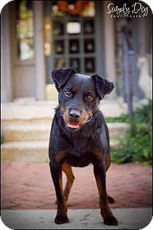 Miniature Pinscher Mix Dog for adoption in Dublin, Ohio - Dottie