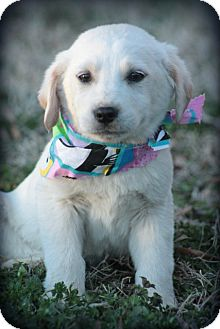 Labrador Retriever Mix Puppy for adoption in Cranford, New Jersey - Abe