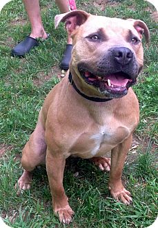 Pit Bull Terrier Mix Dog for adoption in Bloomfield, Connecticut - Valedictorian