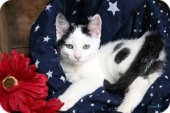Domestic Shorthair Cat for adoption in Germantown, Maryland - Spots
