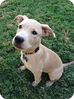 American Pit Bull Terrier/Labrador Retriever Mix Dog for adoption in Gilbert, Arizona - Daphne