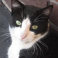 Domestic Shorthair Cat for adoption in San Jose, California - Handsome