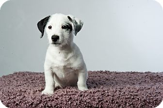 Jack Russell Terrier Mix Puppy for adoption in Houston, Texas - Lennox