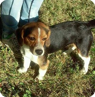 Beagle Dog for adoption in Laingsburg, Michigan - Roxy