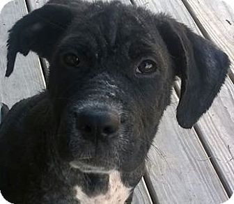Border Collie/Shar Pei Mix Puppy for adoption in Barnegat Light, New Jersey - Nadia