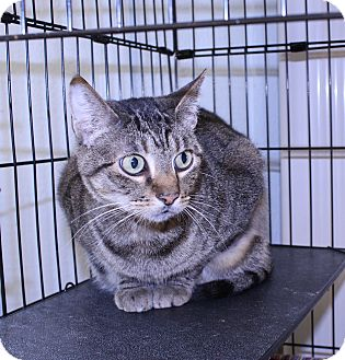 American Shorthair Cat for adoption in Lumberton, North Carolina - Thomas