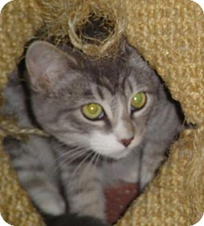 Domestic Shorthair Cat for adoption in Wakefield, Massachusetts - Trick