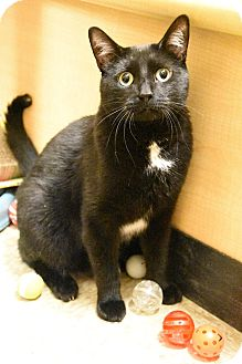 Domestic Shorthair Cat for adoption in Hillside, Illinois - Tango-GREEN EYES & AWESOME