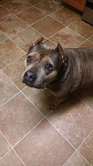 American Pit Bull Terrier Dog for adoption in Mission Viejo, California - Pixie