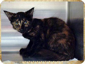 Domestic Shorthair Kitten for adoption in Marietta, Georgia - CELIA
