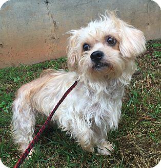 Maltese/Yorkie, Yorkshire Terrier Mix Dog for adoption in Newark, Delaware - Gracie