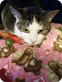 Domestic Shorthair Cat for adoption in Avon, Ohio - Beau