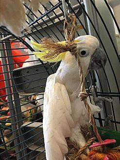 Cockatoo for adoption in Punta Gorda, Florida - BooBoo