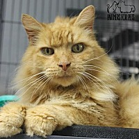Domestic Mediumhair Cat for adoption in Troy, Illinois - Phoenix