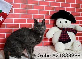 Domestic Shorthair Cat for adoption in Reno, Nevada - GABE