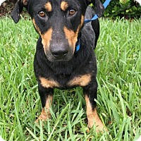 Dachshund Dog for adoption in Weston, Florida - Kenzo