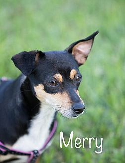 Miniature Pinscher/Chihuahua Mix Dog for adoption in Boca Raton, Florida - Merry