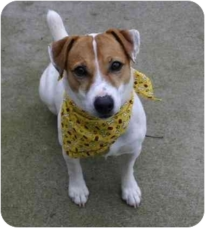 Jack Russell Terrier Mix Dog for adoption in Auburn, California - Ivan