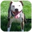 Photo 4 - American Pit Bull Terrier Dog for adoption in All of Colorado, Colorado - Brenna