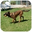 Photo 3 - Belgian Malinois Mix Dog for adoption in Patterson, California - PACO