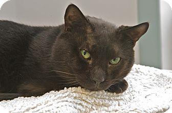 Domestic Shorthair Cat for adoption in Medfield, Massachusetts - Buddy