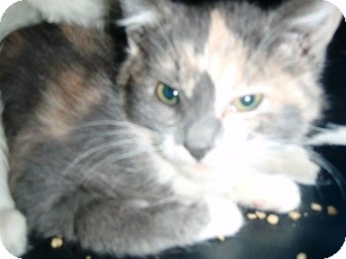 Domestic Shorthair Kitten for adoption in Pasadena, California - Tinkerbelle