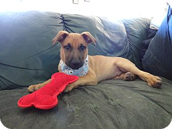 German Shepherd Dog/Shepherd (Unknown Type) Mix Puppy for adoption in Malibu, California - CHARLIE