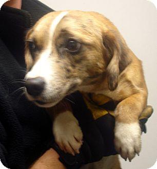 Beagle/Australian Shepherd Mix Dog for adoption in Greencastle, North Carolina - Cat Balou