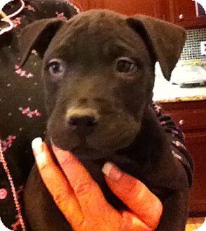 Labrador Retriever/Boxer Mix Puppy for adoption in Nuevo, California - Baxter